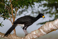 Bare-faced curassow KAC5914