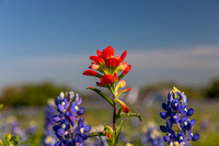 Indian Paintbrush KAC0767