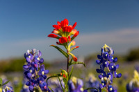 Indian Paintbrush KAC0770