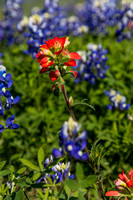 Indian Paintbrush KAC0790