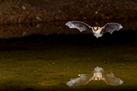 Arizona myotis Bat KAC9547